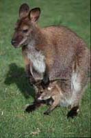 2 Wallaby
